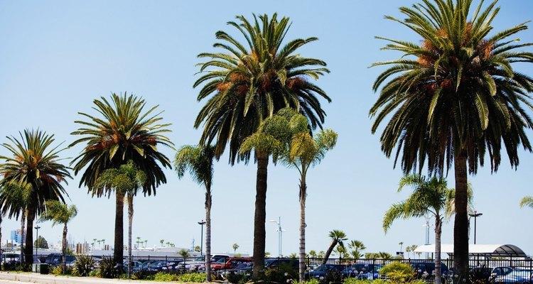 Uma palmeira não é capaz de sobreviver uma vez cortado seu tronco