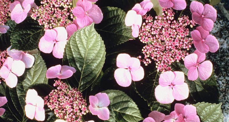 A wide variety of pests can destroy the beauty of your hydrangeas.