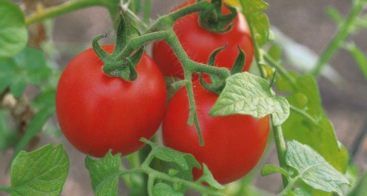 Aunque puedes comprar la planta con flores y frutos, es más económico comprar una planta mediana y hacer el resto en casa.