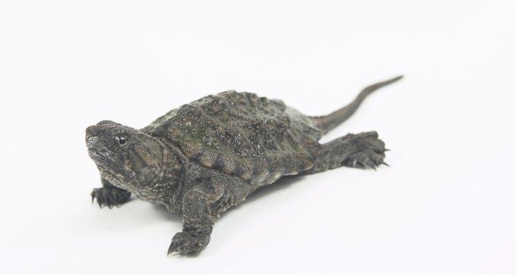 As tartarugas mantidas em cativeiro desenvolvem fungos frequentemente em suas conchas por causa de um aquário insalubre
