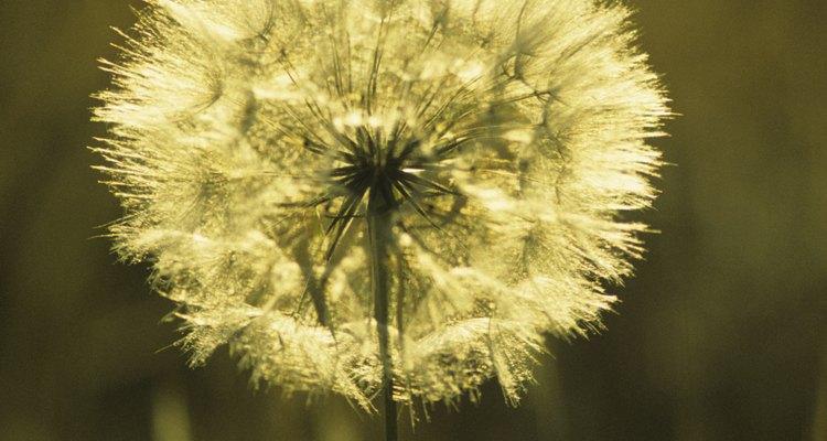 Las semillas de diente de león son ortodoxas y pueden secarse y tolerar el frío sin perder viabilidad.