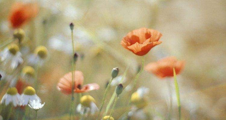 Papoulas são ótimas flores para jardineiros iniciantes