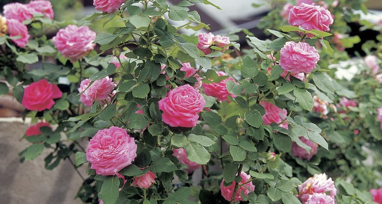 Rose shrubs will thrive in shallow soil.