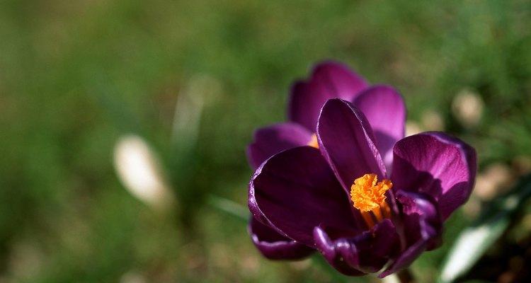 Las flores del azarfán se abren durante las horas de luz solar.