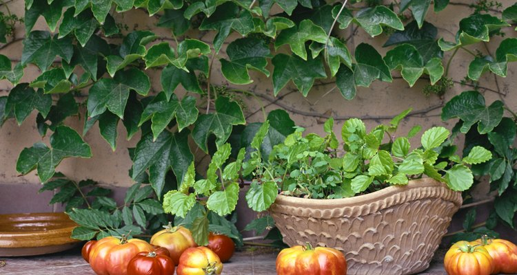 Esta planta de hoja estrecha produce frutos planos, firmes y lobulados con la piel de color rojo oscuro.
