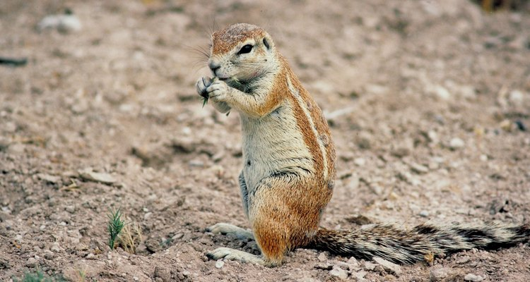 Filling in chipmunk holes makes your garden safer to walk on.