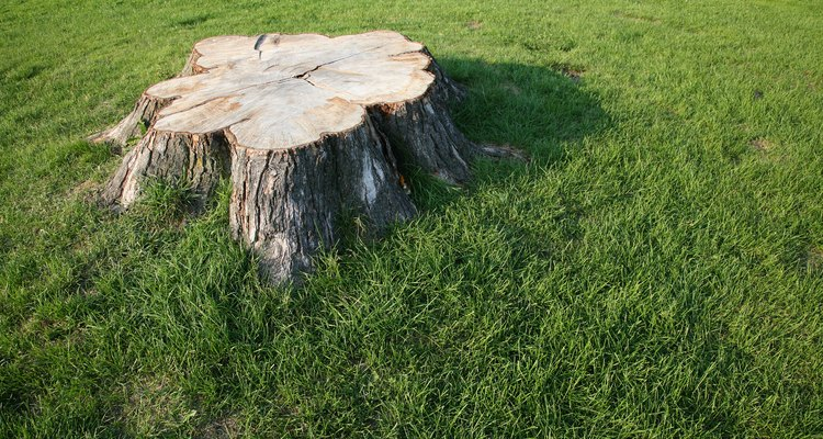 Kill a tree stump with bleach to soften the stump for removal.