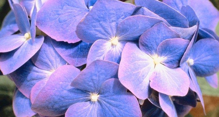 As hortênsias são flores muito apreciadas na decoração
