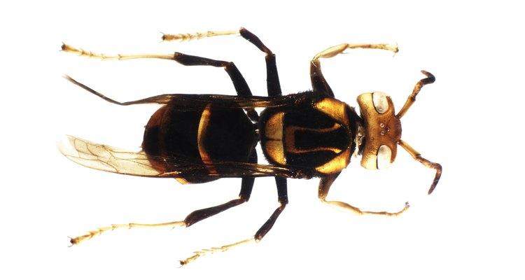 Mesmo as temíveis abelhas têm um lugar na cadeia alimentar