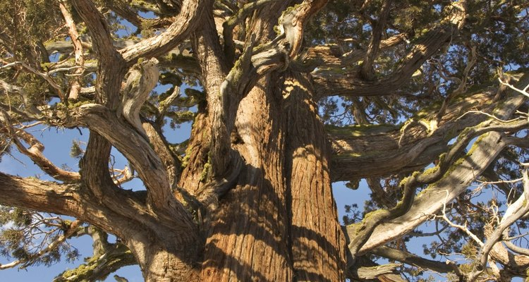 Los pinos ponderosa están muy extendidos en las altas elevaciones en todo el oeste de los EE.UU.