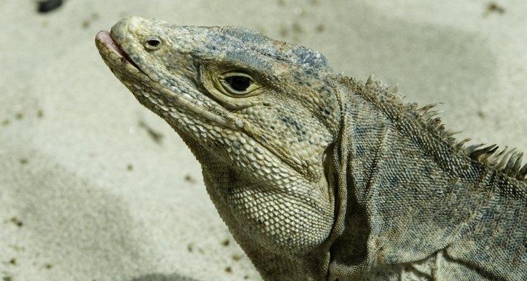 Os lagartos são caçadores naturais que capturam suas presas