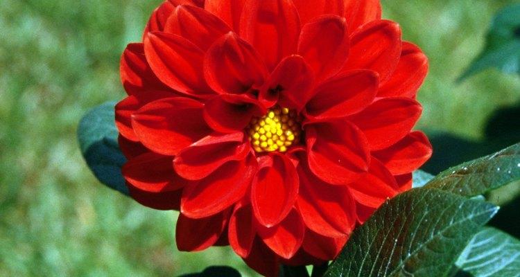 Las dalias son flores atractivas y de colores brillantes.