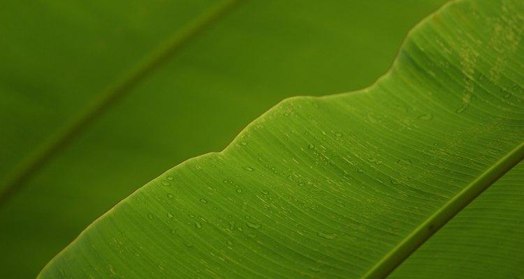 Las hojas de plátano se enrollan y entrelazan para formar un tejido.