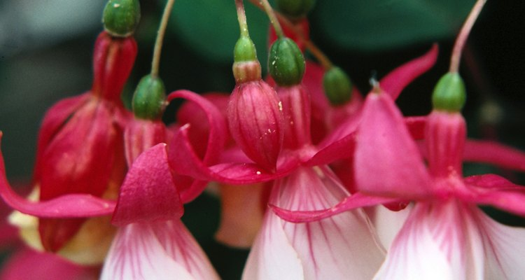 There are over 100 fuchsia species.