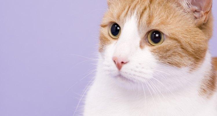 Saiba mais sobre as doenças que podem atingir seu gato