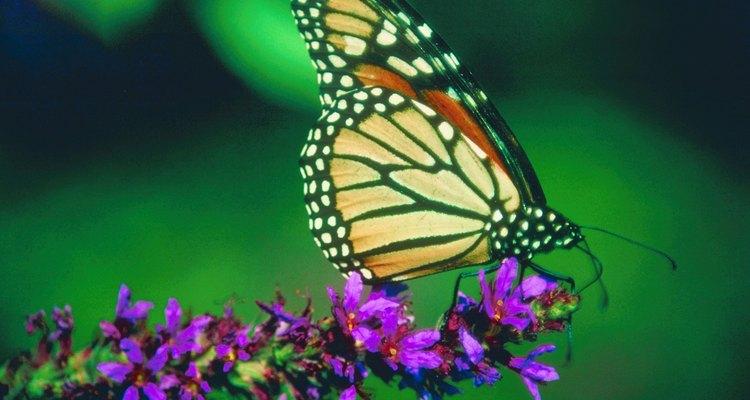 La mariposa monarca es conocida por su migración anual.