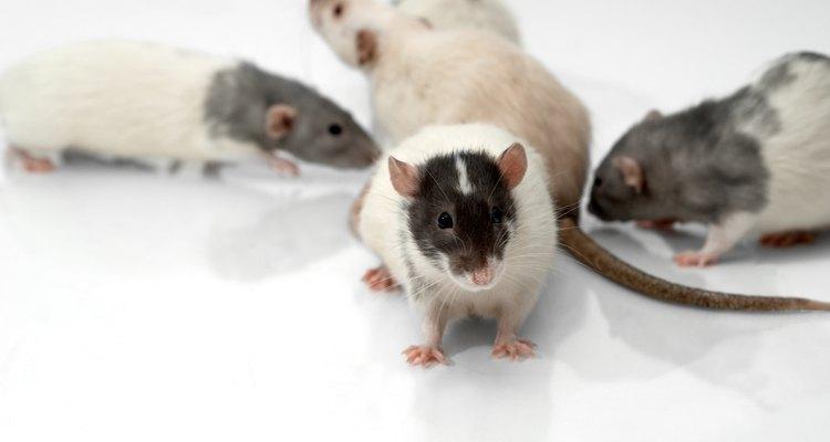 Plaga de ratas.