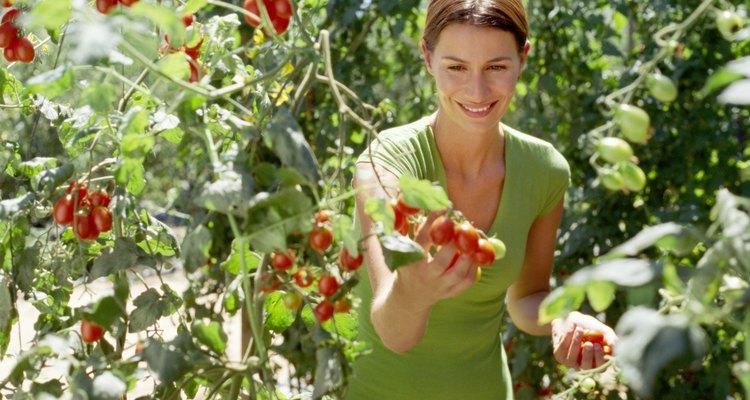 El riego insuficiente de las plantas de tomate pueden provocarle marchitarse y morir.