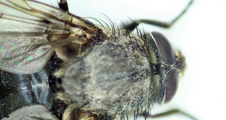 Larvas de moscas são convidados indesejáveis em sua casa