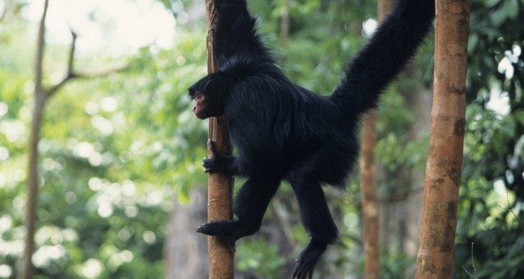 Los monos negros araña rara vez bajan al suelo.