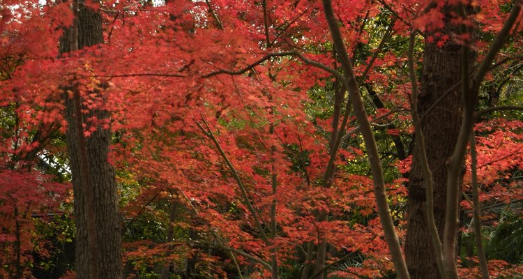 You can get rid of bagworms infesting your Japanese maple tree using specific control methods.