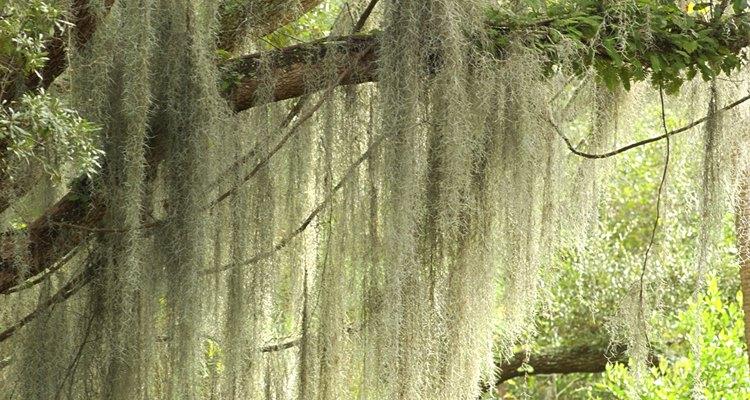 Musgo español en un árbol.