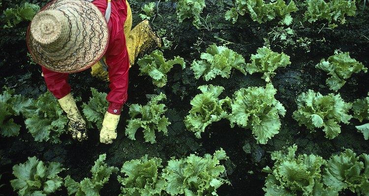 Rabanetes podem ser cultivados com pouca luz