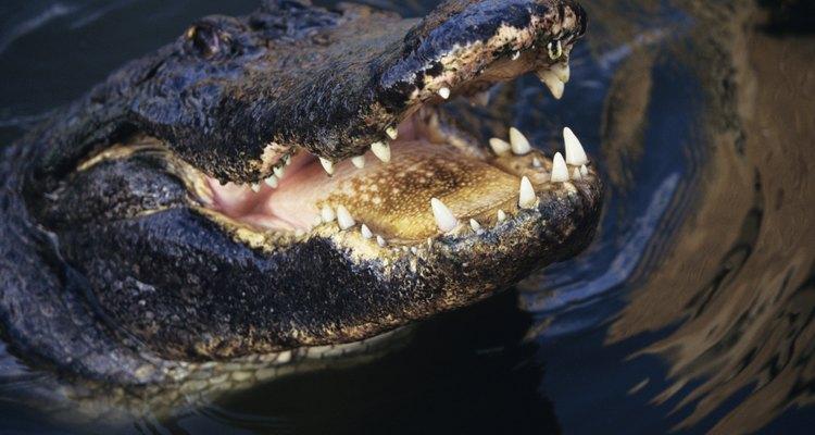 Couro de crocodilo também pode virar marcador de página.