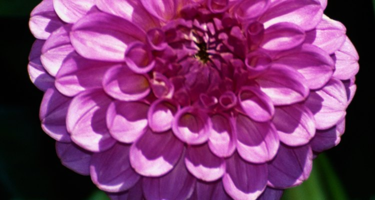 Dahlias are used as cut flowers in floral arrangements.