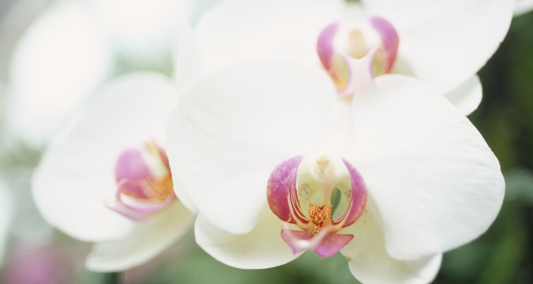 Close-up of Phalaenopsis