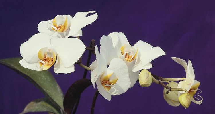 Phalaenopsis orchids produce leaves from the base of the plant.
