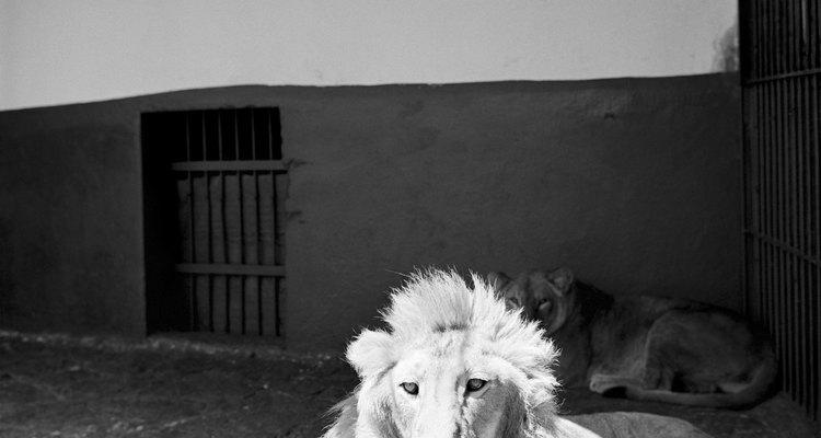Pinta tu rostro de león.
