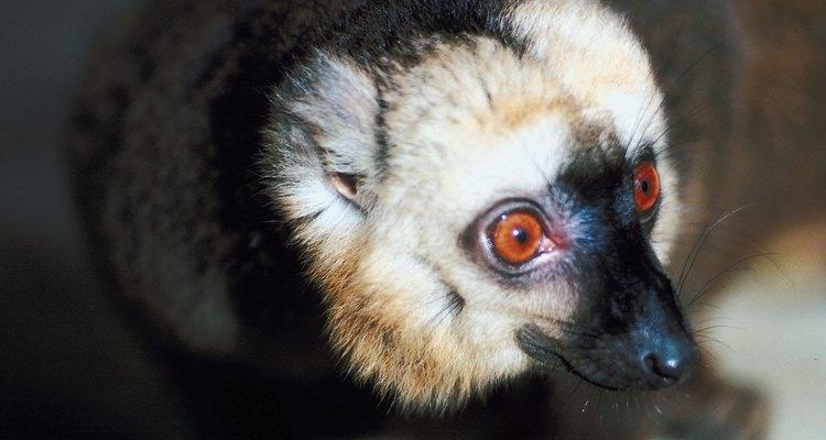 Los lémures son lindos, inteligentes y llenos de energía.