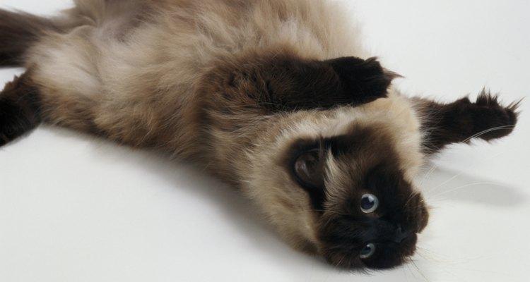 Este tipo de gatos es muy sociable.
