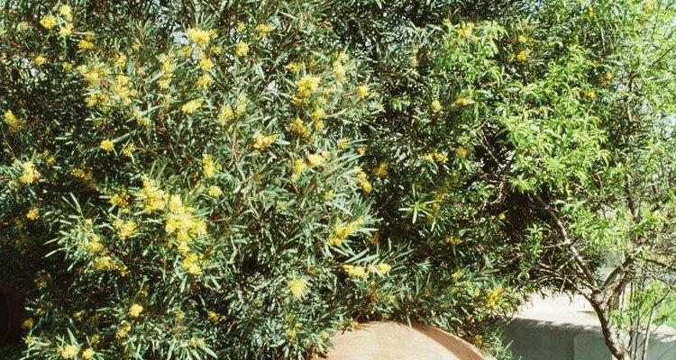 Los olivos son plantas de paisaje ornamentales.