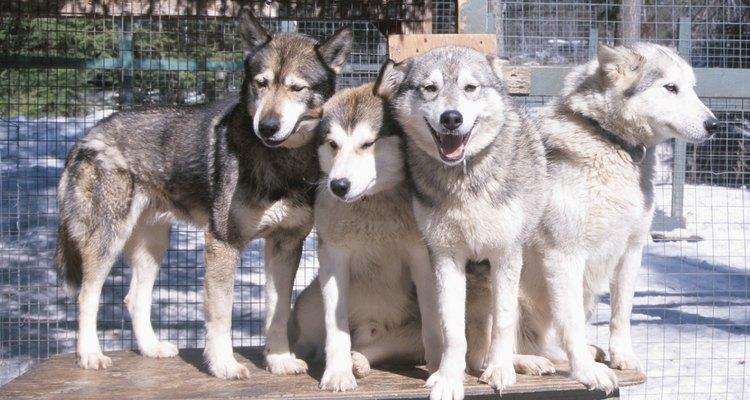 Huskies Siberianos têm uma camada de pelo densa