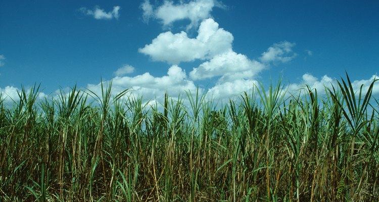 La caña de azúcar es una de las principales plantas utilizadas para fabricar azúcar.