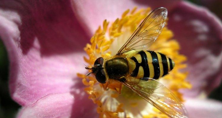 A mosca-das-flores prefere o mesmo tipo de alimento que a abelha