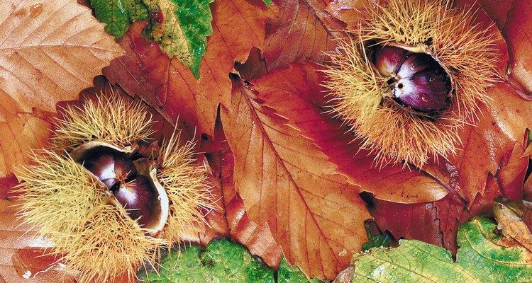 Una castaña es parte de la fruta del árbol de castanea.