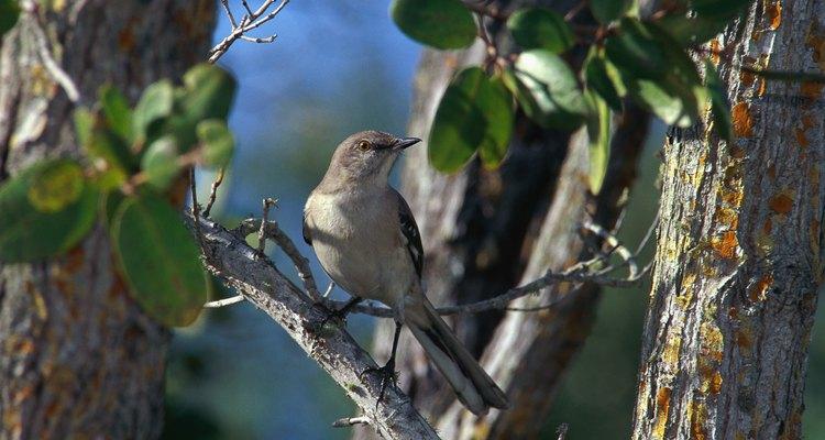 Los machos de la especie Mimus polyglottos cantan de día y de noche en primavera y verano.