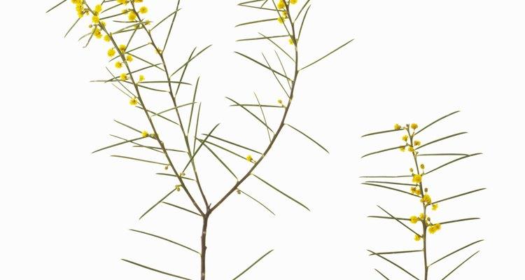 La acacia es un típico árbol espinoso.