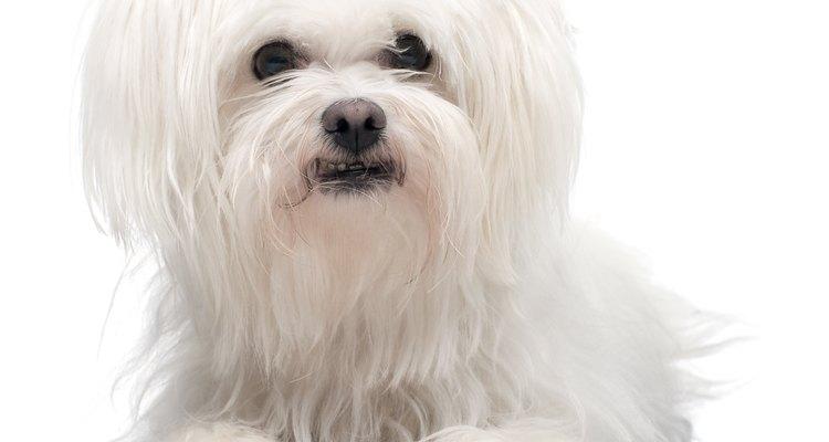 Los perros Maltés tienen el pelo largo.