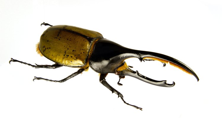 O besouro-hércules gosta de explorar o chão da floresta em busca de frutas caídas