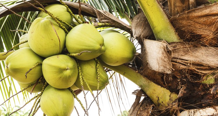 Cocos cercados por flores de coqueiro