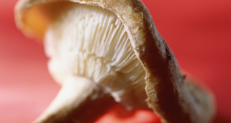 Cómo cultivar Ganoderma Lucidum.