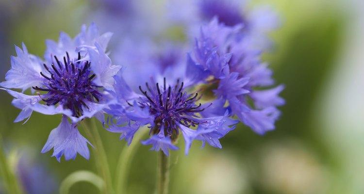 A Centaurea cyanus também é conhecida como escovinha ou marianinha (especialmente na Região Sul), e representa esperança e a devoção ao presenteado