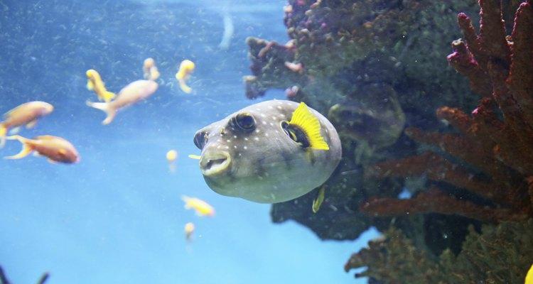 Estos peces generalmente viven en agua salada.