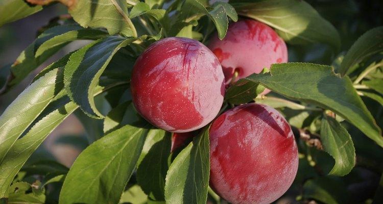 Ameixas vermelhas em uma árvore