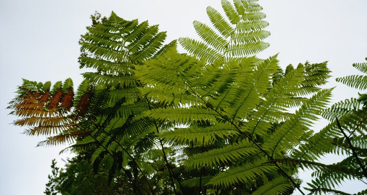 Winter injury causes many tree fern deaths.