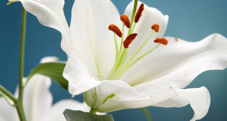 Los lirios pueden ser difíciles de cultivar, pero recompensan el esfuerzo con grandes flores.